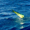 Dorado hooked on the Maria Teresa. Available for Full and half day fishing charters in Los Barilles.