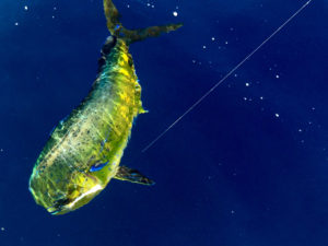 Dorado. Los Barriles Fishing Charter. Maria Teresa